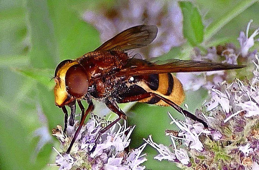 Wer aussieht wie eine Hornisse, kann   die Fressfeinde   gelegentlich täuschen, auch wenn es nur  eine  Schwebfliege ist. Foto: privat