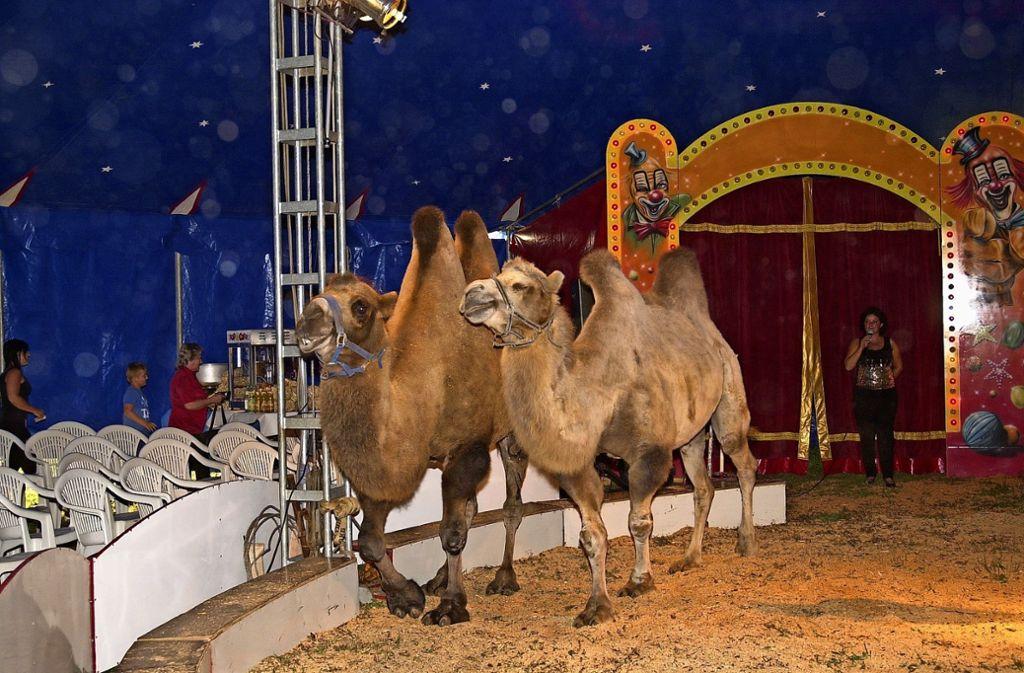 Die Steppenkamele aus der Mongolei sind eine der Attraktionen des Zirkus Belli. Foto: Zirkus Belli