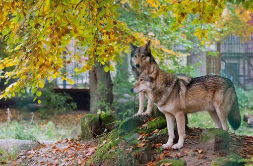 Maßnahmen bei weiterer Ausbreitung der Wildtiere geplant