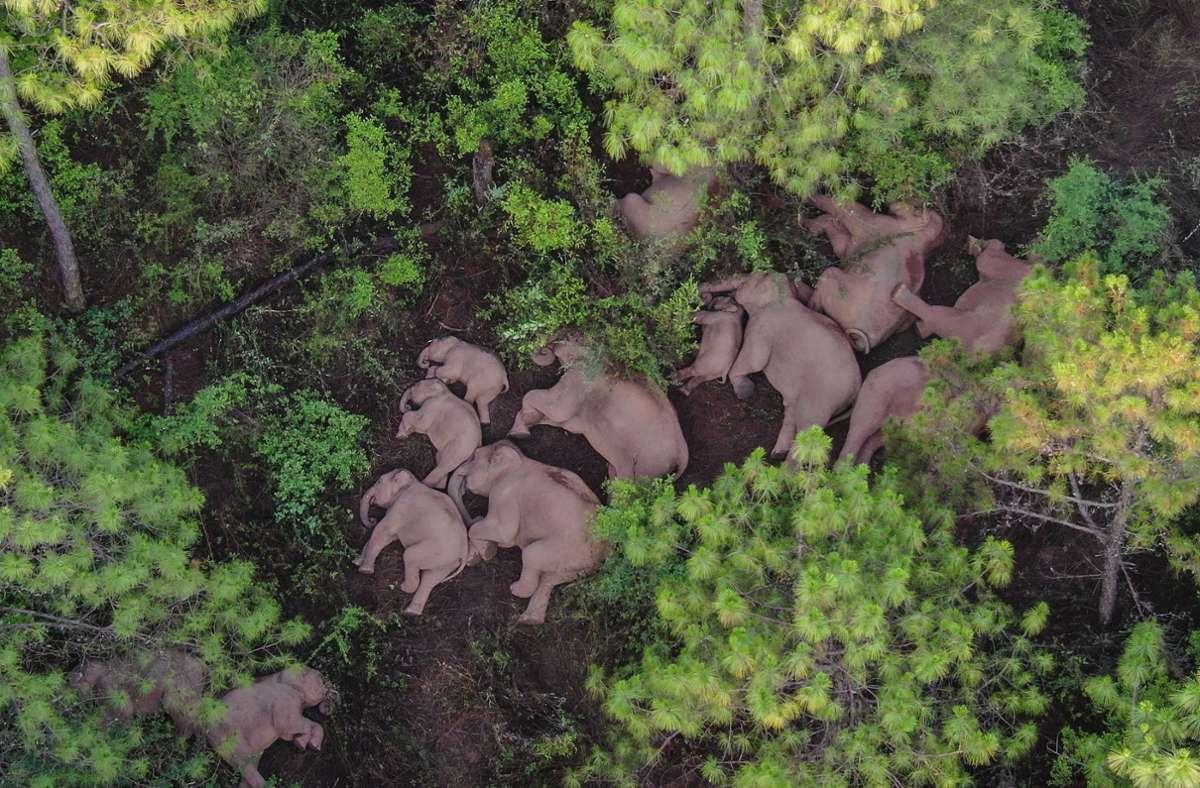 Die Elefantenherde, die derzeit durch China wandert, hat sich zum Schlafen dicht an dicht auf den Boden gelegt. Foto: dpa