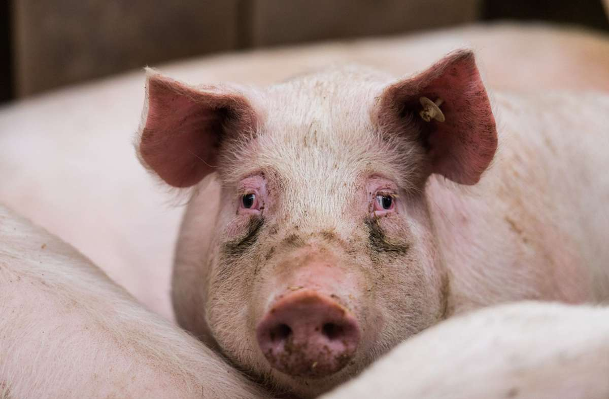 Die Landesregierung will offenbar mehr Geld fürs Tierwohl ausgeben. Foto: dpa/Andreas Arnold