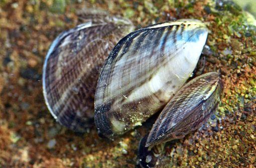 Kampf gegen Muscheln kostet Millionen