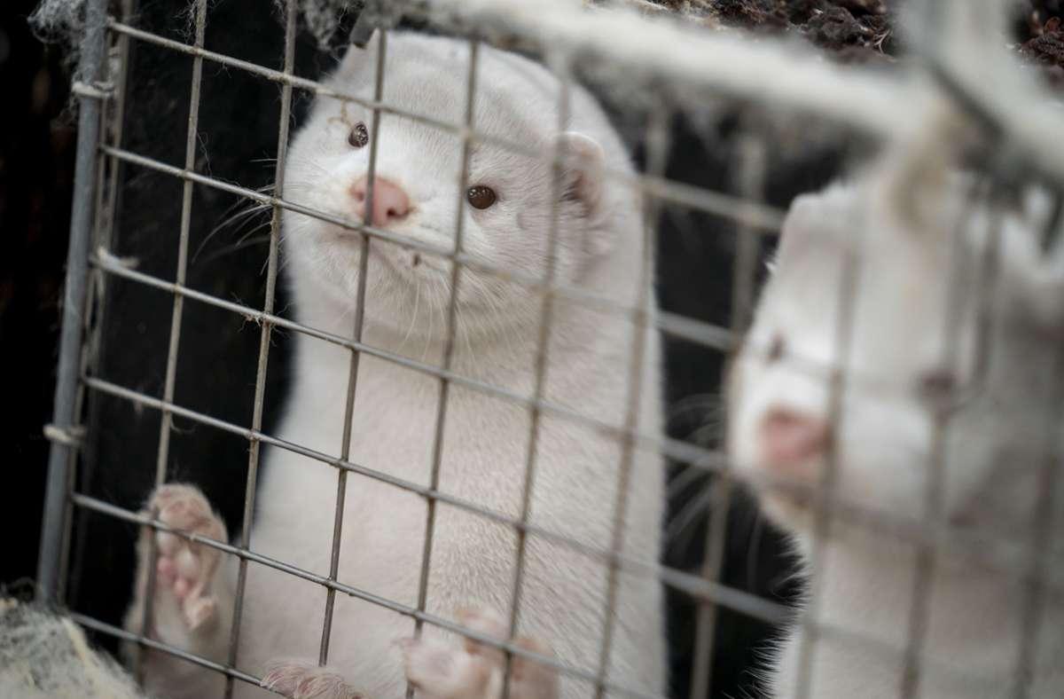 Nerze stehen ihren Käfigen in einem Bauernhof im dänischen Naestved. In Dänemark sind mittlerweile alle Pelztiere auf mit dem Coronavirus befallenen Nerzfarmen getötet worden. Foto: Mads Claus Rasmussen/Ritzau Scanpix/AP/dpa