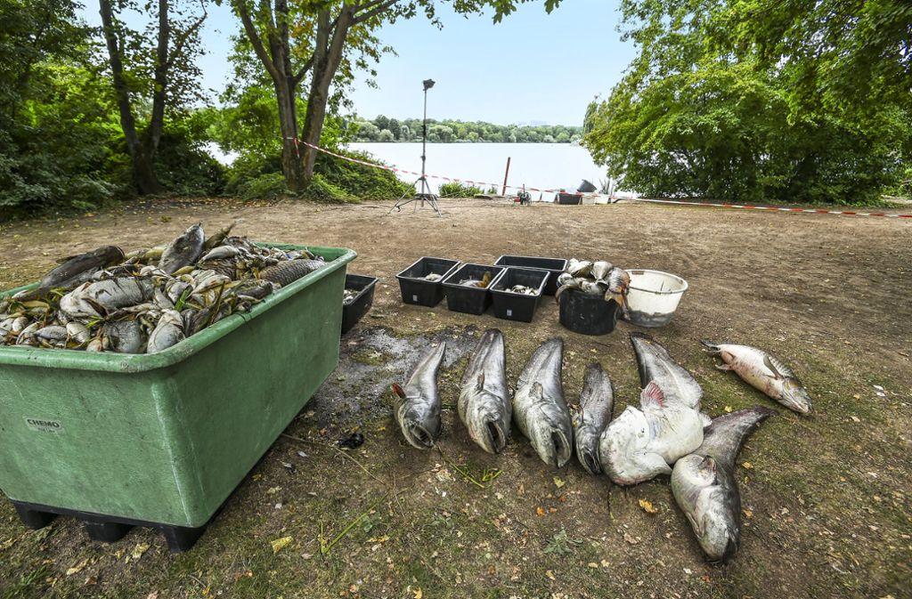 Die toten Fischen werden in Containern gesammelt. Foto: Lichtgut/Leif Piechowski