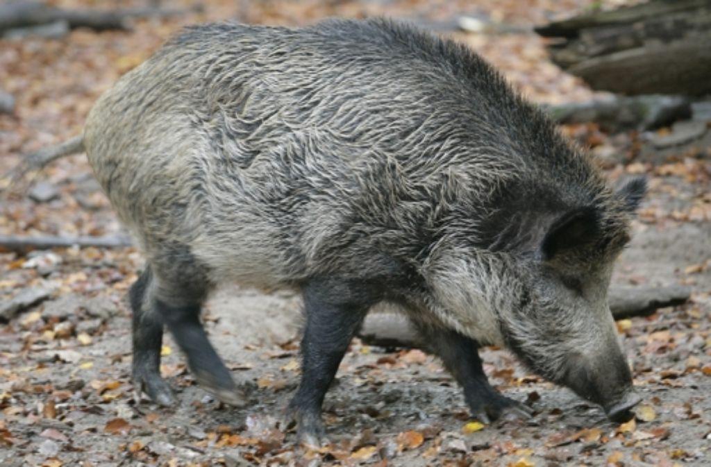 Das Wildschwein sucht den besten Futterplatz. Foto: dpa