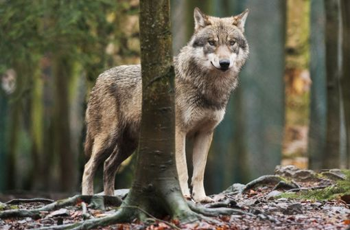 Wolf stößt mit Auto zusammen und stirbt