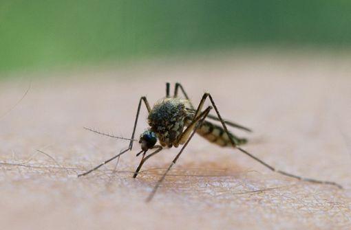 Alkohol im Blut lockt Stechmücken an