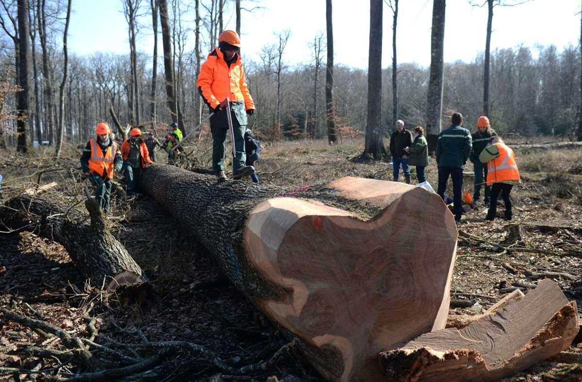 Techniker des französischen Nationalen Forstamtes vermessen im Wald von Jupilles den Stamm einer Eiche, die ausgewählt wurde, um beim Wiederaufbau der Kathedrale Notre-Dame de Paris verwendet zu werden. Foto: dpa/Jean-Francois Monier