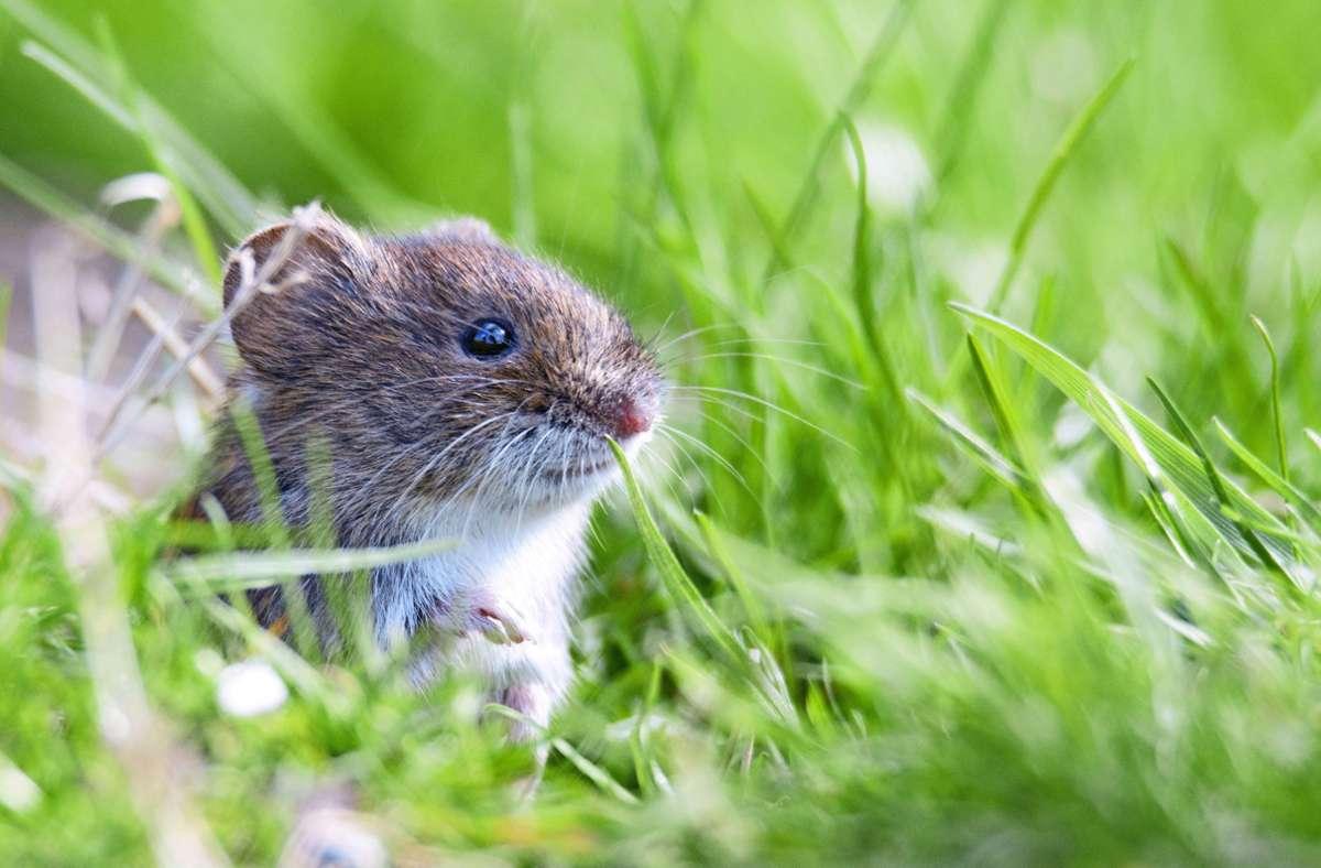 Das Hantavirus wird von Mäusen – in Deutschland vor allem der Rötelmaus oder  Haselmaus –  auf Menschen übertragen. Symptome einer Infektion sind Fieber, Gliederschmerzen bis hin zu Nierenversagen. Foto: Adobe Stock//www.techspeak.de/Sebastian Grel