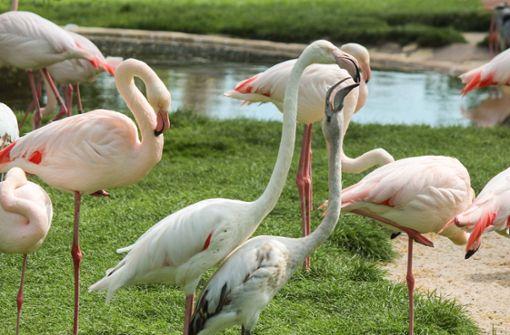 Flamingo flaniert auf der Stuttgarter Königstraße