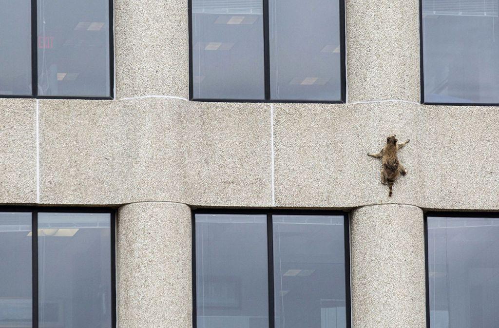 Dieser Waschbär kletterte im US-Bundesstaat Minnesota unter den staunenden Blicken von Passanten 23 Stockwerke an der Außenwand eines Bürohochhauses hoch. Foto: Minnesota Public Radio