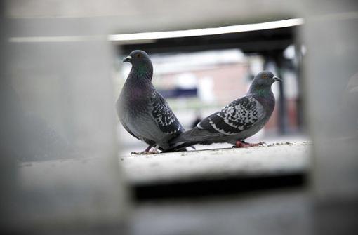 Tauben verenden an Klebepasten - Tierschutzbeauftragte will Verbot