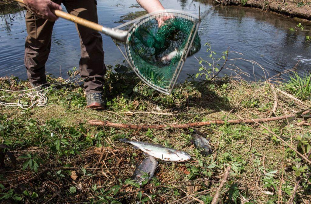 In einem Teich bei Berglen in der Nähe von Winnenden sind über Ostern 150 Fische verendet. Foto: SDMG