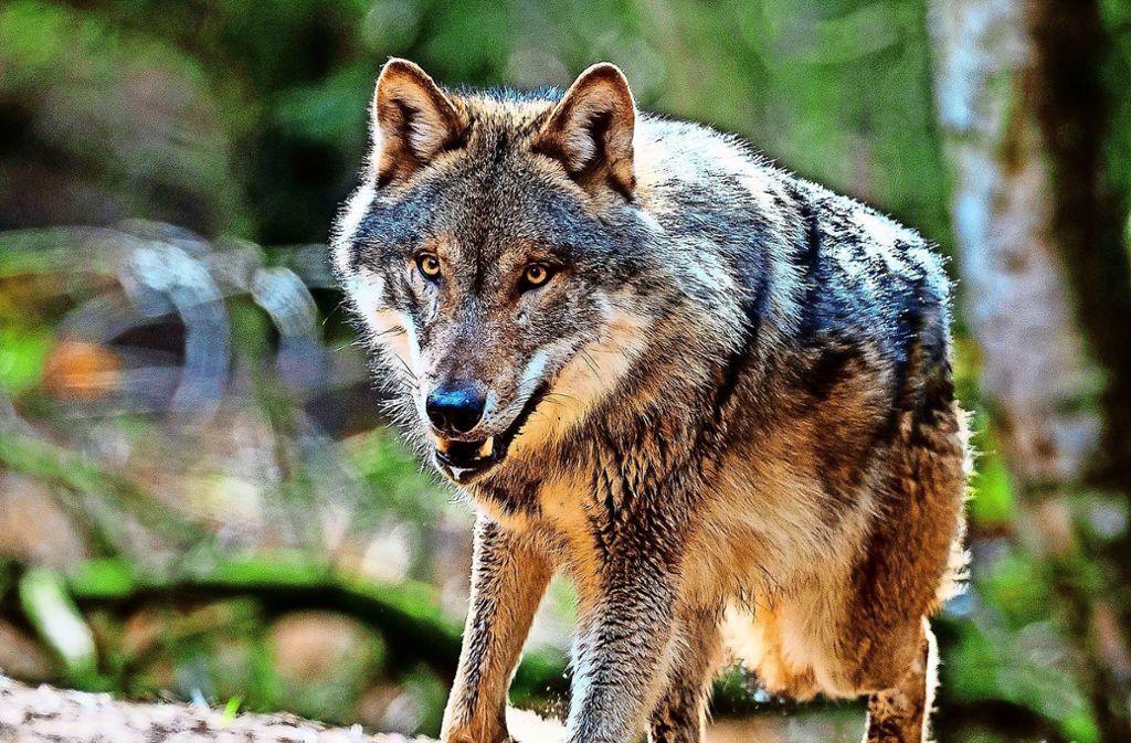 """""""Und wenn der Wolf kommt..."""" heißt  eine am 24. März beginnende Ausstellung. Foto: dpa"""