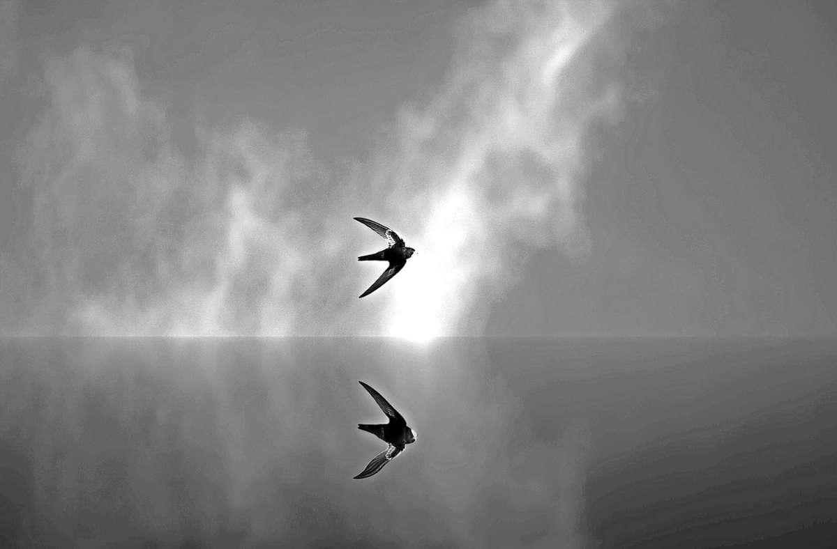 Schwalben haben keine Lobby, sagt ein Ornithologe aus Filderstadt. Entsprechen wenig politischen Rückenhalt habe das Thema. Foto: Gentle07/pixabay