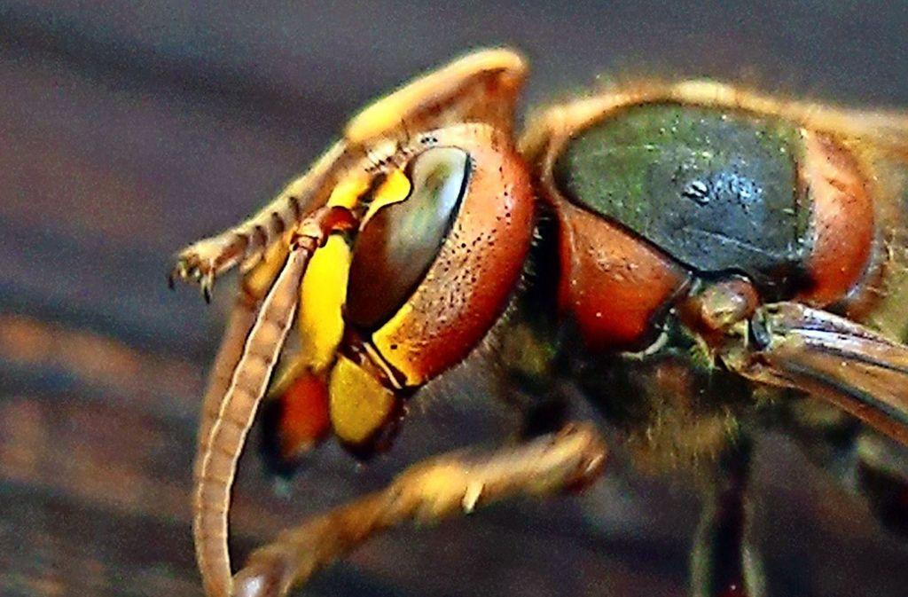 Hornissen flößen schon allein aufgrund ihrer imposanten Größe Angst ein. Sie sind aber weniger angriffslustig als Bienen und Wespen. Foto: dpa