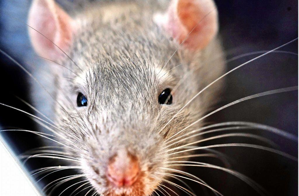 Ratten sind Allesfresser. Darum gilt es Müll und insbesondere Essensreste so zu entsorgen, dass die Tiere nicht dran kommen. Foto: Archiv Gottfried Stoppel