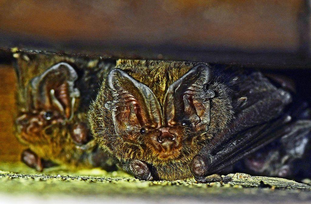 Der Batcorder zeichnet Ultraschall-Rufe auf – und  Volker Weiß vom Nabu hat auf den Aufnahmen seltene Mopsfledermäuse identifiziert. Foto: NABU/Christian Dietz