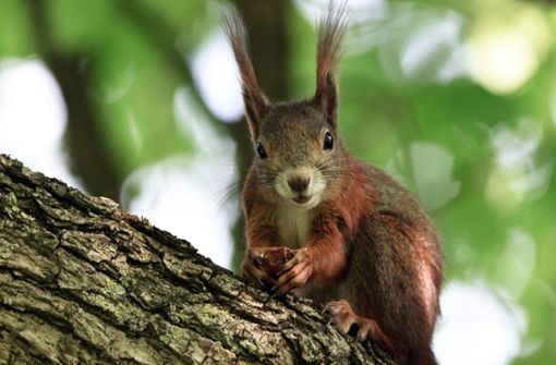 Aggressives Eichhörnchen terrorisiert Nachbarschaft