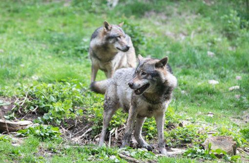 Jagd auf das  verschwundene Wolfsrudel
