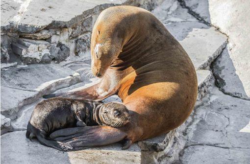 Der jüngste Seelöwe erkundet das Gehege