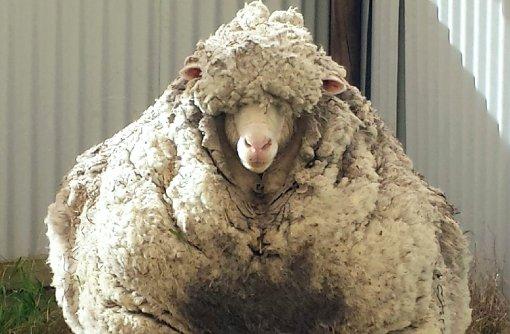 Haircut bei Merino-Schaf dauert 45 Minuten
