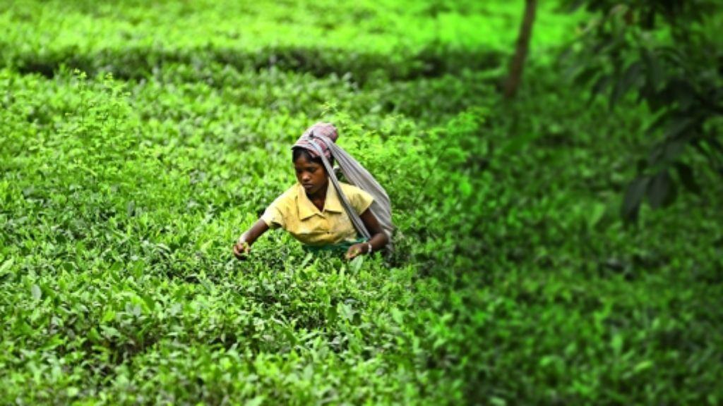 Die Arbeitslöhne in der indischen Teeindustrie liegen fast immer unter dem Existenzminimum – und  viele der Teepflücker sind unterernährt. Foto: AFP
