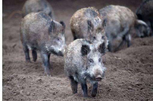 Sieben Gründe, warum Wildschweine doch cool sind