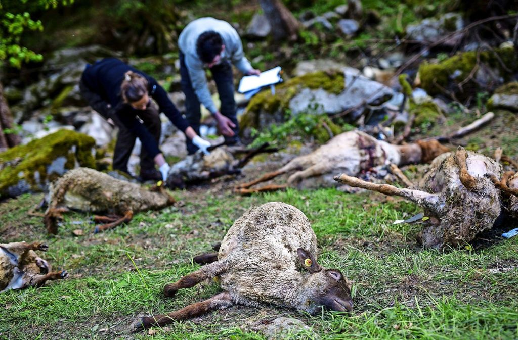 Jetzt ist es amtlich: Die toten Tiere gehen auf das Konto eines einzigen Wolfs Foto: dpa