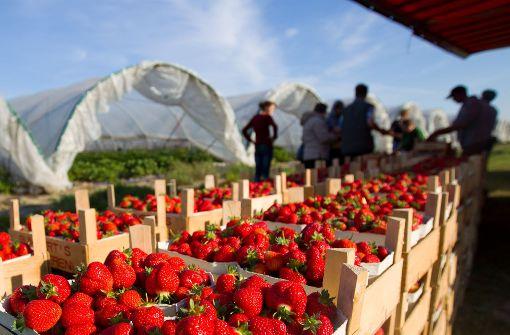 April-Frost hat Erdbeersaison verdorben