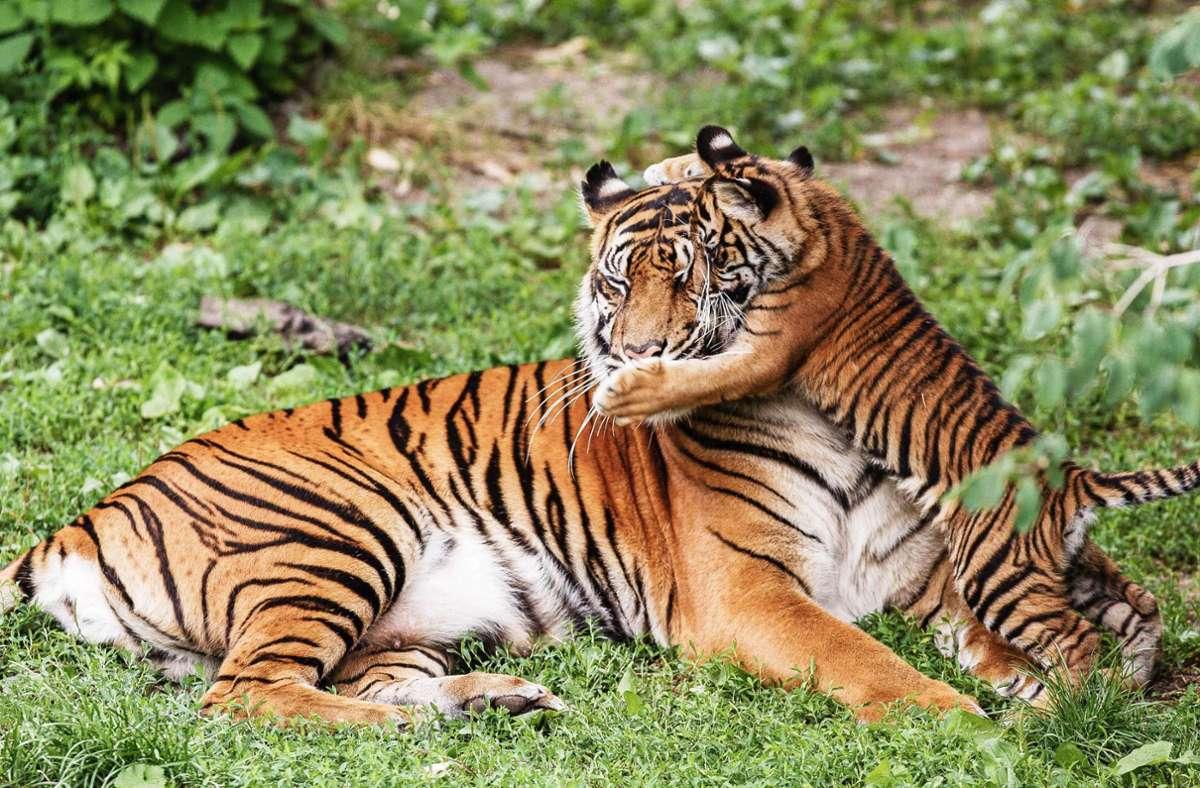 2007: Ein Jungtier aus Dumais zweitem Wurf spielt mit ihr. Foto: Harald Löffler/Eye of the Tiger