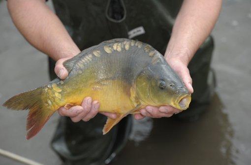 Wer einen Karpfen fängt, das halbtote Tier aber nach dem Foto zurück ins Wasser wirft, macht sich der Tierquälerei schuldig. Der Landesfischereiverband lehnt den umstrittenen Trend ab. Foto: dpa