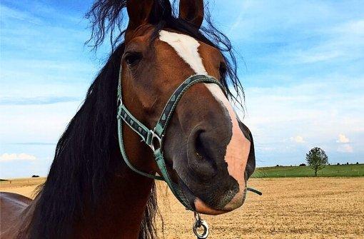 Ein Pferd zum Schmusen, aber nicht zum Reiten: der behinderte Hengst Capi Foto: privat