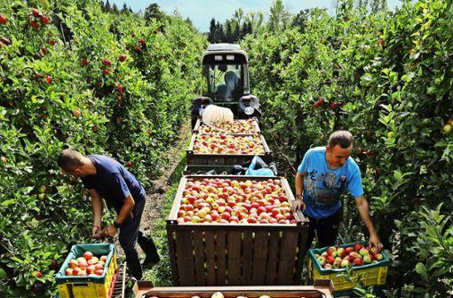 Äpfel in Hülle und Fülle