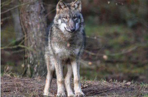 """""""Der Wolf steht für das Fremde"""""""