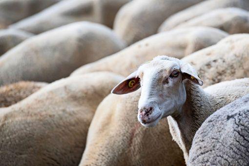 Wenn  Schafsgeblöke die Konzentration stört