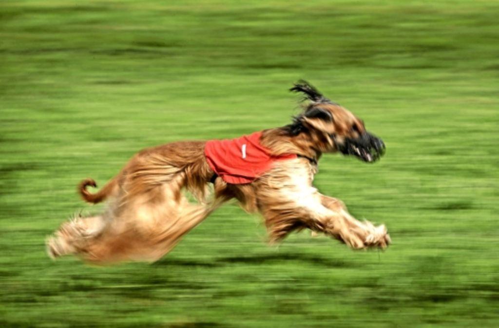 Beim Coursing zählt nicht nur das Tempo. Die  Punktrichter bewerten auch  die Jagdleidenschaft, die Intelligenz, die Geschicklichkeit und die Kondition der Windhunde. Foto: Gottfried Stoppel