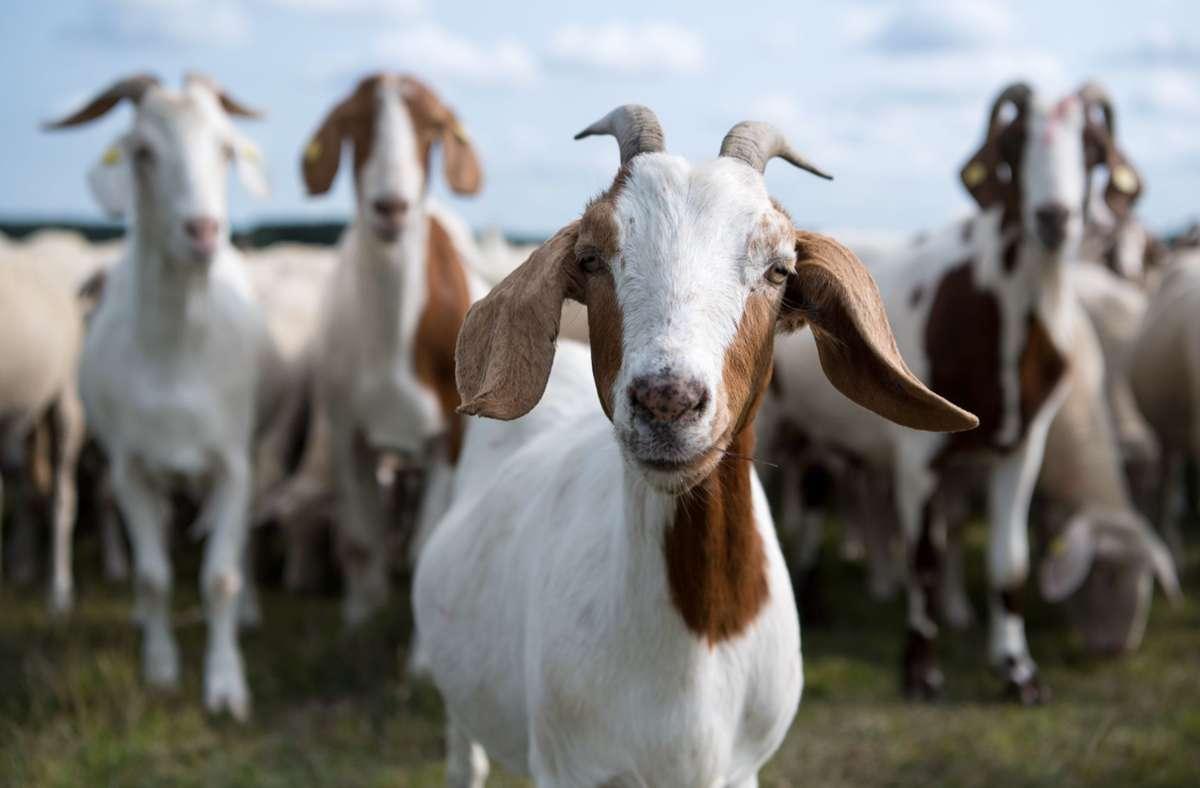 Im Landkreis Rastatt wurden zwei tote Ziegen gefunden. (Symbolbild) Foto: picture alliance/dpa/Sven Hoppe