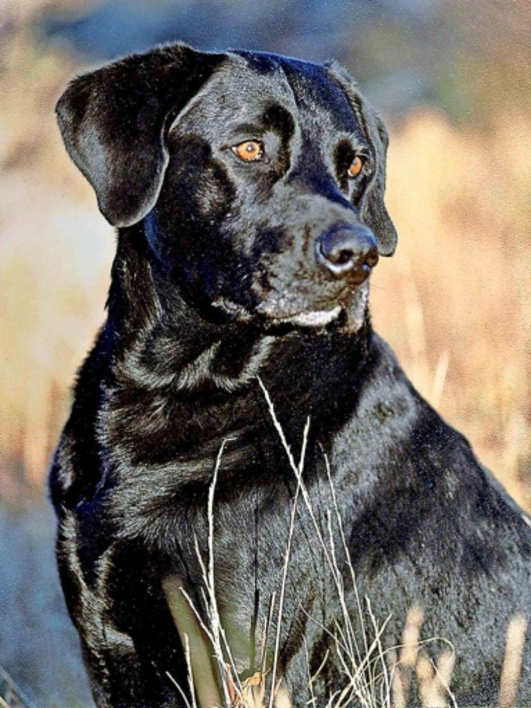 Labradore, wie dieses Prachtexemplar, sind liebenswürdige Familienhunde. Foto: AP