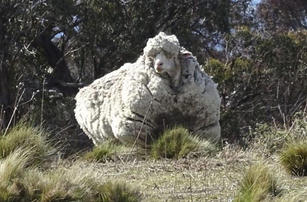 Das Schaf hatte 2015 rekordverdächtige 42,3 Kilogramm Wolle auf die Waage gebracht. Foto: dpa/Rspca