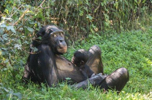 Bonobo-Baby kommt Openair zur Welt