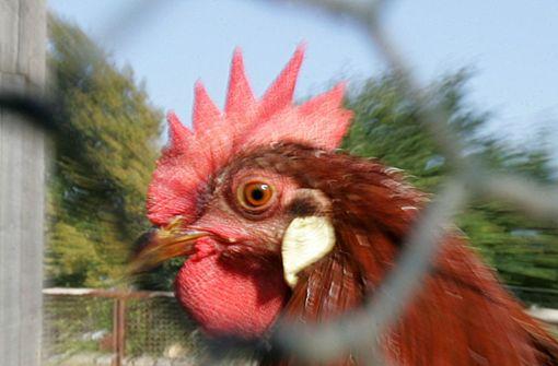 Polizei rettet Huhn von Autobahnkreuz