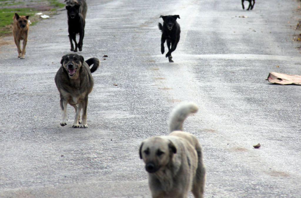 In Indien leben mehr als 30 Millionen herrenlose Hunde, viele von ihnen haben Tollwut (Symbolfoto). Foto: dpa/Christine-Felice Röhrs