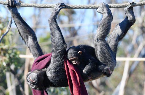 Patente auf Schimpansen gelten nicht mehr