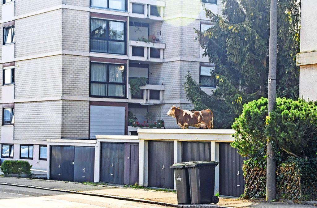 Die Kuh, deren Flucht auf dem Dach einer Garage in Sindelfingen-Maichingen geendet hatte, hat die Aktion überstanden. Foto: SDMG