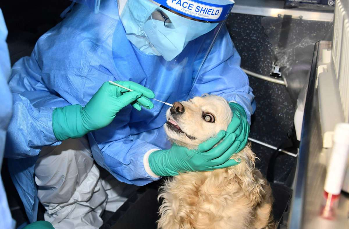 Katzen und Hunde von coronainfizierten Haustierbesitzern erhalten in Seoul  Corona-Tests. Foto: AFP/HANDOUT