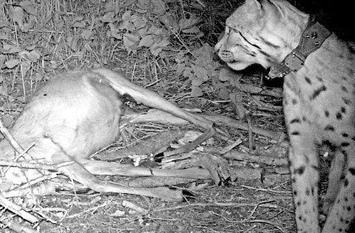 Schon 25 Wölfe sind illegal erschossen worden