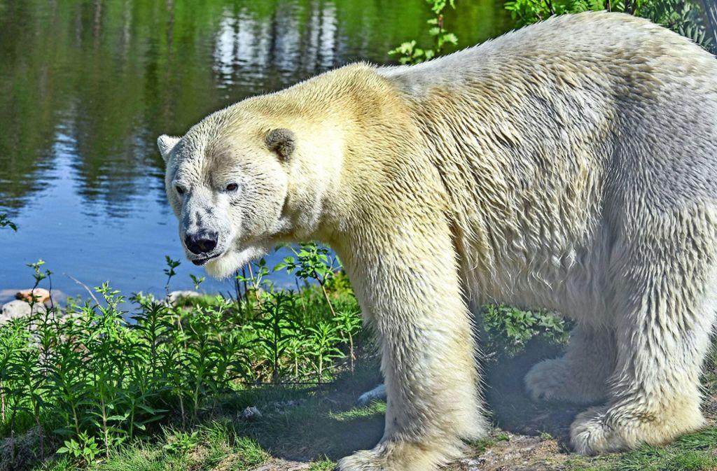 So sieht der 500 Kilogramm schwere Wilbär heute aus. Foto: Orsa Raubtierpark/dpa