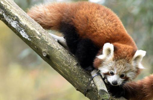 Seltener Roter Panda aus Gehege ausgebüxt