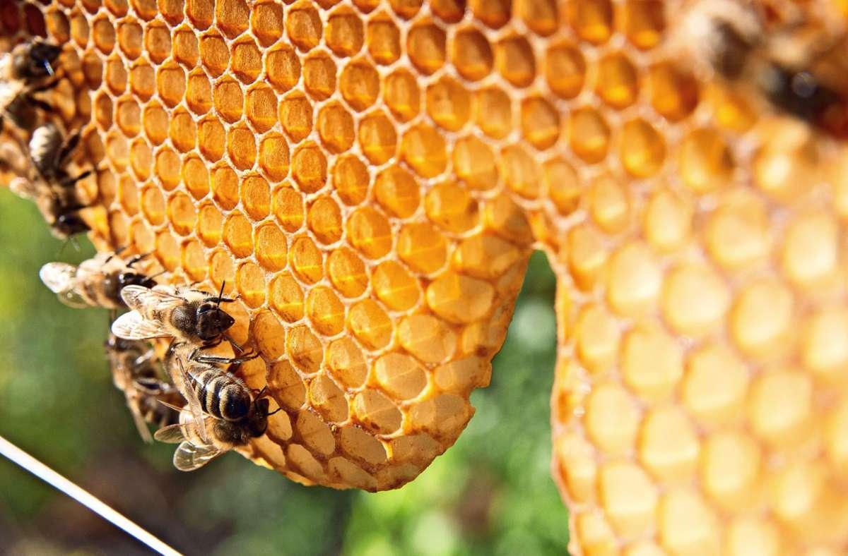 Unter anderem Pestizide und Monokulturen gefährden viele Insekten. Die Honigbiene (Foto), ist davon nicht ganz so stark betroffen, um so mehr aber viele wild lebende Arten. Foto: Pro Biene/Benedikt Adler